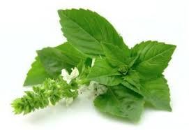 BUSUIOCUL Planta care scade colesterolul mai repede ca unele medicamente. Rețetă pentru tratament